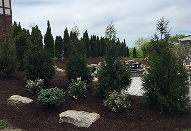 Landscape Screen of Arbs MissKim Blue Spruce Globe &  Mt Rock